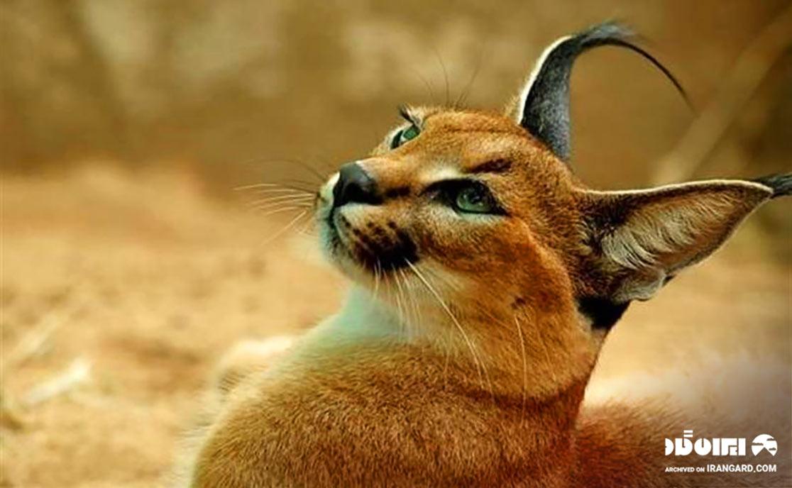 گربه کاراکال
