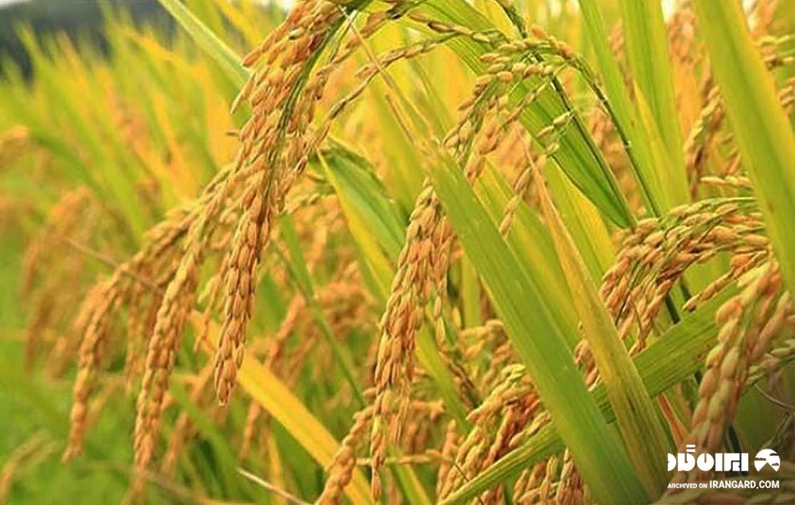 برنج گیلانی